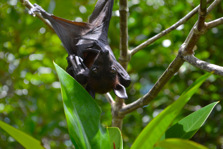 Fruit bat, flying fox, hanging upside down among green leaves on a tree, Sri Lanka Stock Photo
