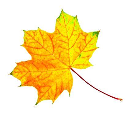 big beautiful autumn maple leaf isolated on white background Stock Photo