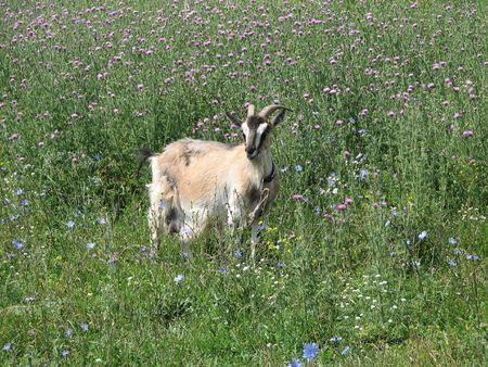 grazed: The goat is grazed on a meadow.