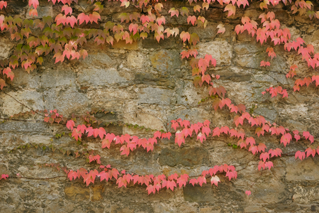 Red, green and orange leaves of a Boston Ivy, parthenocissus tricuspidata veitchii, in autumn on an old grunge wall. Foto de archivo