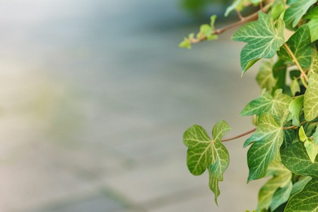 Green leaves texture. Beautiful green leaves, green pattern background, Green leaves with sun ray. Stock Photo