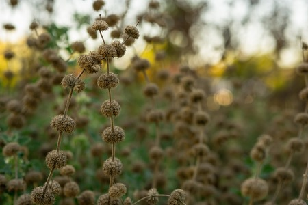 Close-up of golden wild grass on the sunset.selective focus.