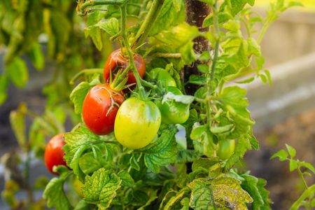 Tomatoes in different colors and stages of growth growing on substrate at tied plants in a large specialized greenhouse horticulture company.