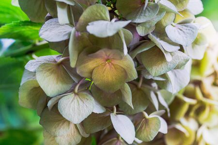 Closeup of hydrangea Hydrangea macrophylla are blooming in spring and summer at a town garden.