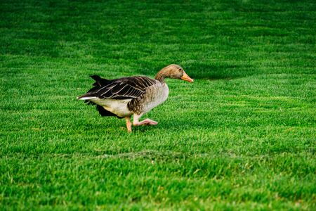 Goose stinging grass in a green meadow with white flowers in a sunny day. Banco de Imagens