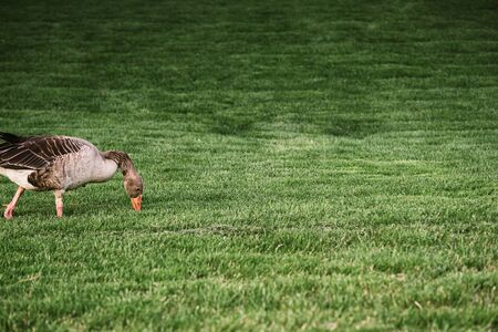 Goose stinging grass in a green meadow with white flowers in a sunny day. Stock Photo