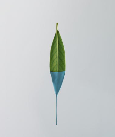 Green leaf with dripping blue paint on bright background. Minimal food concept.