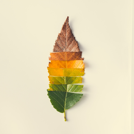 Creative layout of colorful autumn leaves. Flat lay. Season concept. Imagens - 70796033