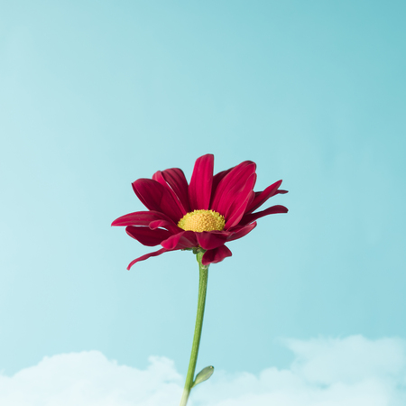 Red flower on sky background. Minimal concept.