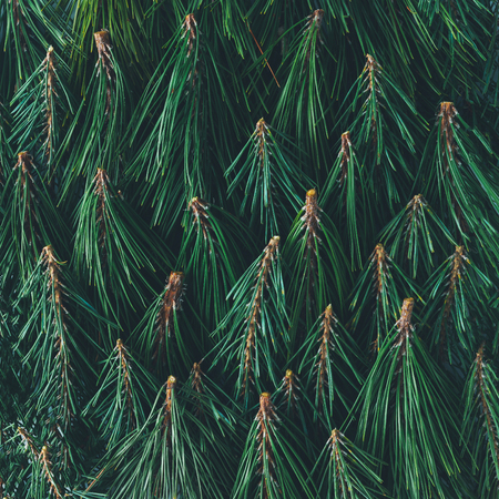 Creative pattern made of pine tree branches. Nature background. Flat lay. Stock Photo