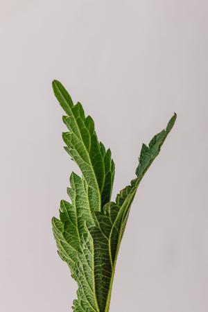 Green nettle leaves against bright background. Minimal nature. Stockfoto