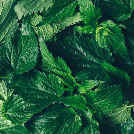 Creative nettle leaves background. Minimal nature concept. Flat lay. Green herbs texture. Stockfoto