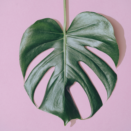 Monstera leaf on pastel purple background. Minimal composition. Tropical flat lay.