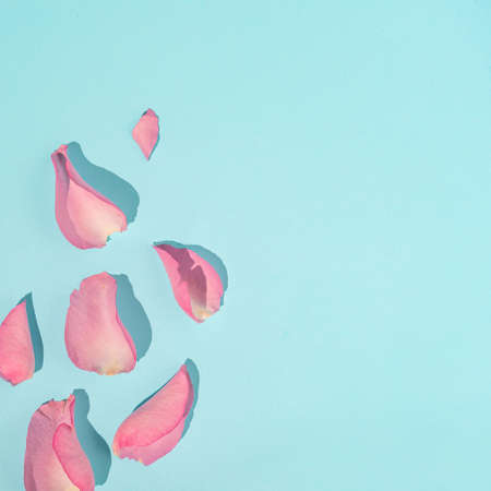 Pink rose flower petals on bright blue background. Minimal nature or woman's day concept. Creative background.