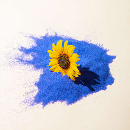 Yellow daisy flower in bold blue sand and beige background. Sunny day shadow. Minimal spring concept.