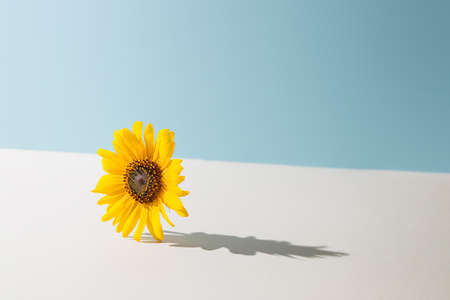 Yellow daisy flower against pastel blue and beige background. Sunny day shadow. Minimal spring concept. 版權商用圖片