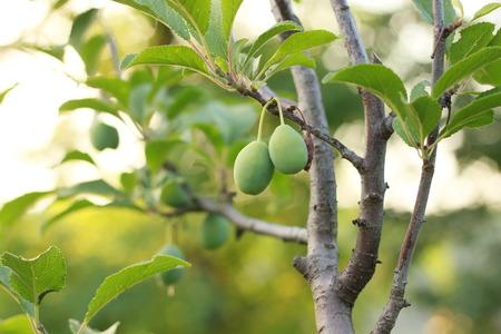 unripened: Green plum