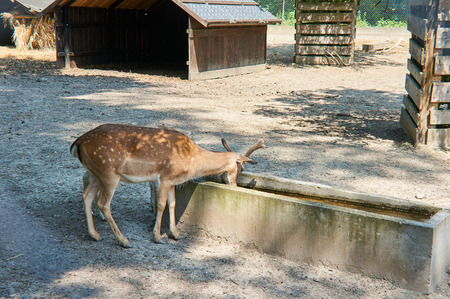axis deer: Axis deer. Stock Photo