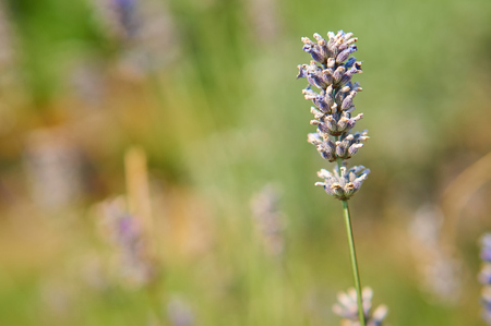 french perfume: Lavender flower in field.