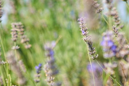 Lavender flower in field.