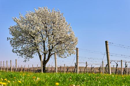 wine road: Flowering tree near vineyards Stock Photo