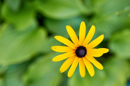 Sunchoke yellow flower (helianthus tuberosus). 版權商用圖片