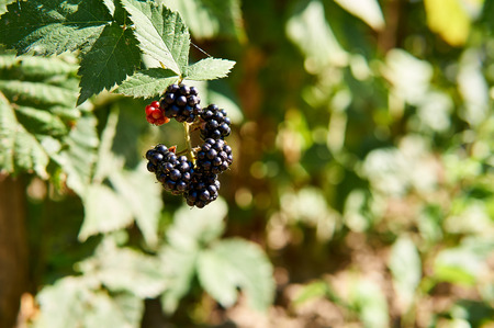 Blackberries in garden