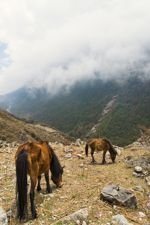 Horses feeding in cloudy mountains at Langtang Valley, nepal photo
