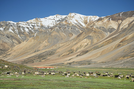 Sheeps among snow capped mountains photo