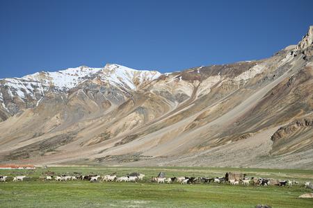 many sheep in Himalayas photo