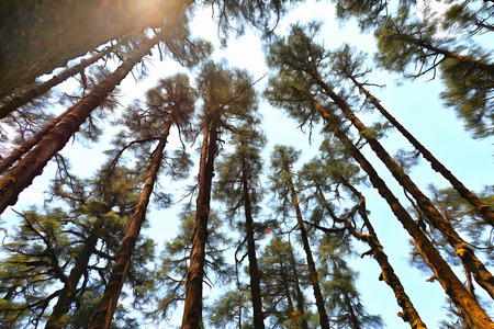 below: View of pine trees at sunset from below illustration