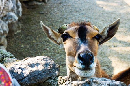 Antelope close up in a zoo Stock Photo