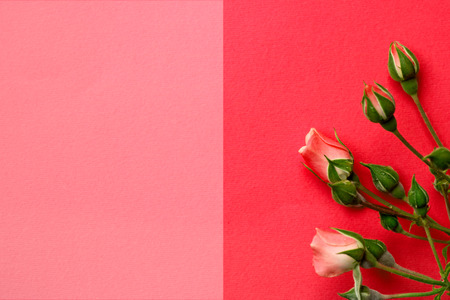 two tone: Pink roses on a two - tone background, copy space, card