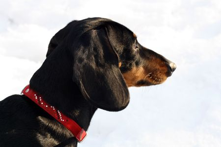 chasing tail: A portrait of dachund looking ahead