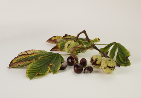 Horse chestnuts, in and out of the shell, with leaves, isolated on white background 版權商用圖片