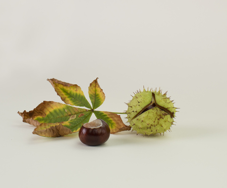 horse chestnut seed: Horse chestnuts in shell, with leaves, isolated on white background Stock Photo