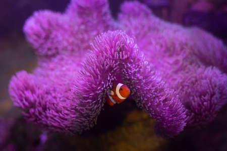 Anemone fish with anemone,Sea anemone and clown fish in marine aquarium.