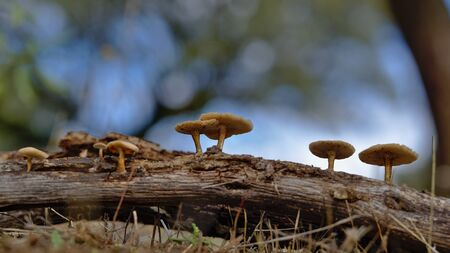Autumn mushrooms in the pasture born in dry oak trunk. Stock Photo