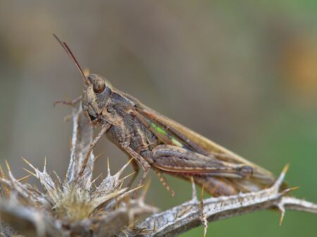 Brown grasshopper with green stripes perched on dried thistle on unfocused background with greenish yellow tones.