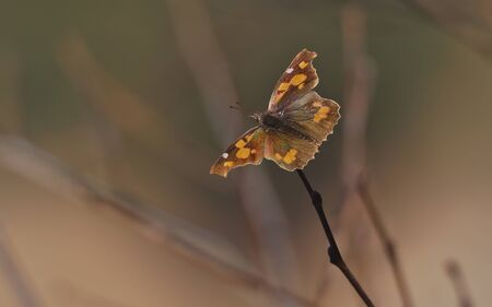 Libythea celtis Marsh butterfly perched on a twig with pastes background.