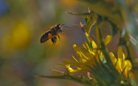 Abeille en vol chargée de pollen sur le chemin de la ruche.