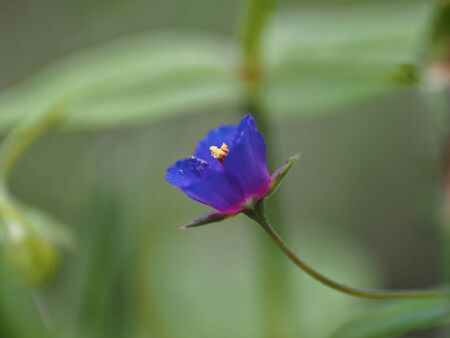 Profile detail of anagallis arvensis, very small blue flower on green background. Archivio Fotografico