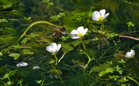 Bees pollinating ranunculus peltatus flowers in a pond invaded by herself.