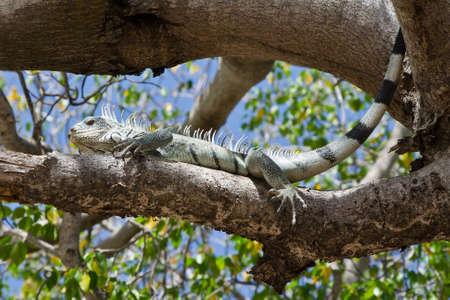 curacao: Iguana on a tree of Curacao
