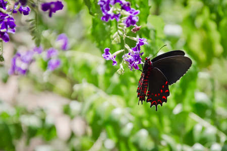 butterflies nectar: Scarlet Swallowtail butterfly sipping nectar in Aruba Island. Stock Photo