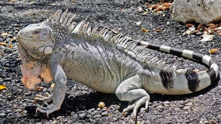 curacao: Big iguana from Curacao island
