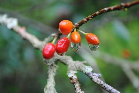 drug trafficking: fruit of coca plant