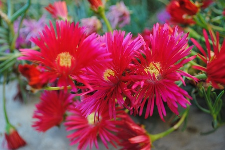 naturaleza: Flor Fuxia