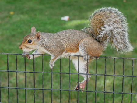 Squirrel on a fence in Washington DC, USA Stock Photo