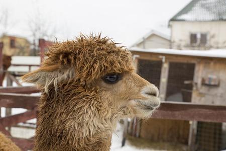 lug: brown alpaca in a pen Stock Photo